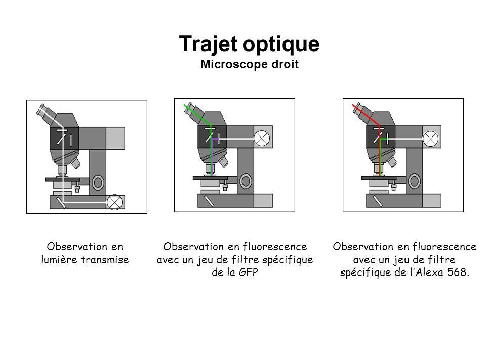 Observation en lumière transmise Observation en fluorescence avec un jeu de filtre spécifique de la GFP Trajet optique Microscope droit Observation en
