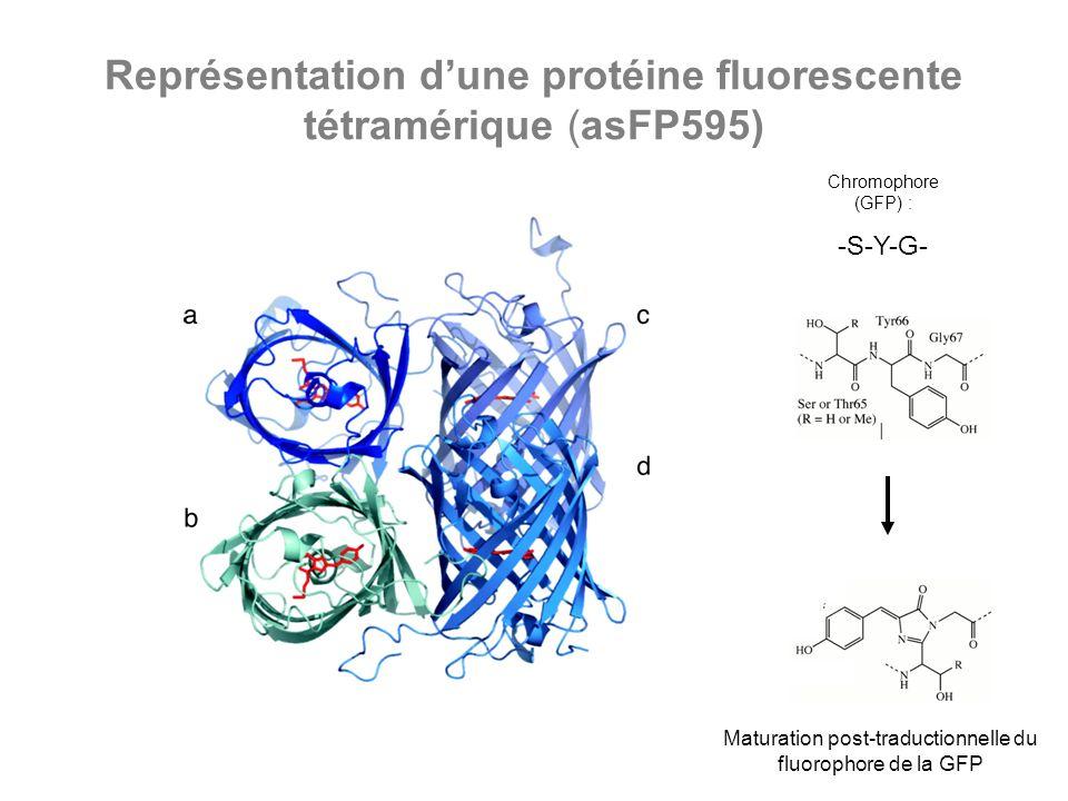 Représentation dune protéine fluorescente tétramérique (asFP595) Chromophore (GFP) : -S-Y-G- Maturation post-traductionnelle du fluorophore de la GFP