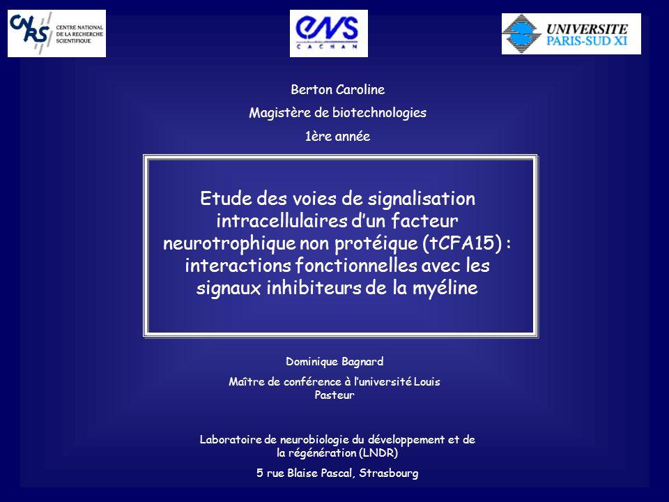 Berton Caroline Magistère de biotechnologies 1ère année Etude des voies de signalisation intracellulaires dun facteur neurotrophique non protéique (tC