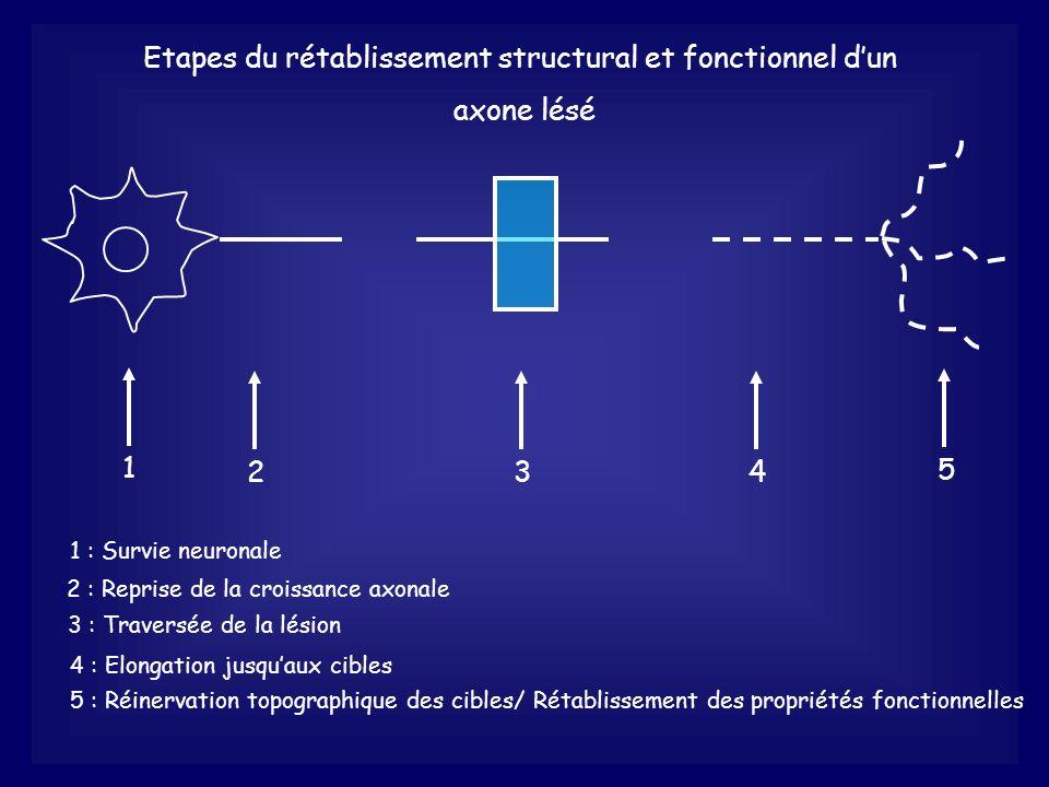 Etapes du rétablissement structural et fonctionnel dun axone lésé 1 1 : Survie neuronale 2 2 : Reprise de la croissance axonale 3 3 : Traversée de la