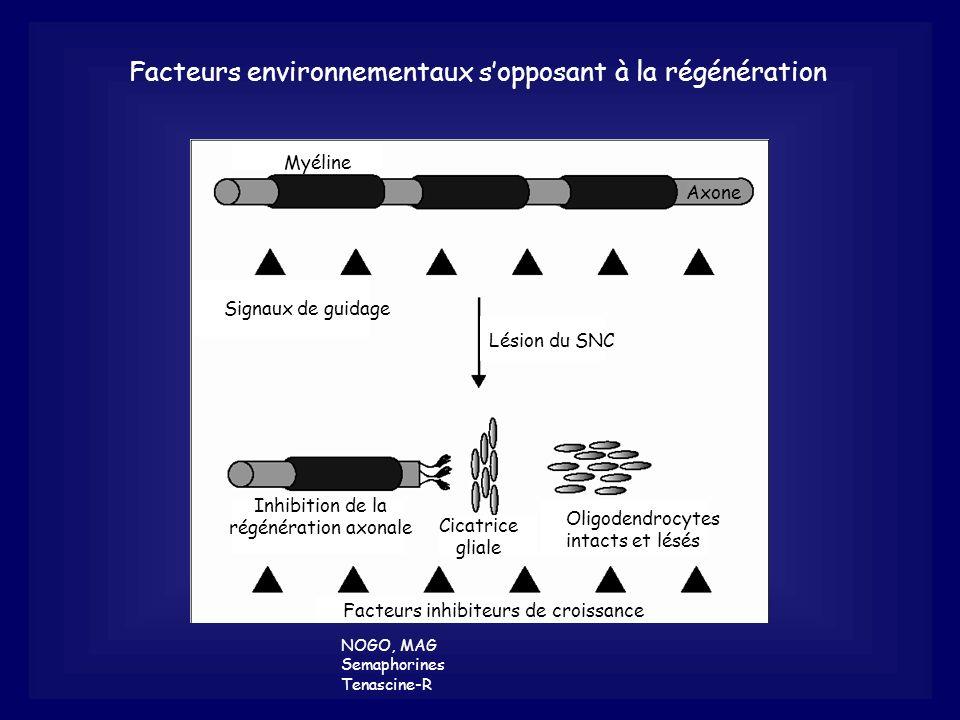 Facteurs environnementaux sopposant à la régénération NOGO, MAG Semaphorines Tenascine-R Facteurs inhibiteurs de croissance Inhibition de la régénérat
