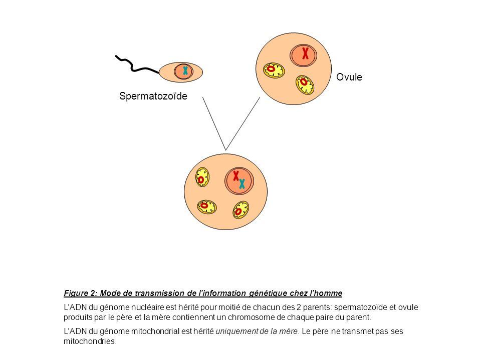 Spermatozoïde Ovule Figure 2: Mode de transmission de linformation génétique chez lhomme LADN du génome nucléaire est hérité pour moitié de chacun des