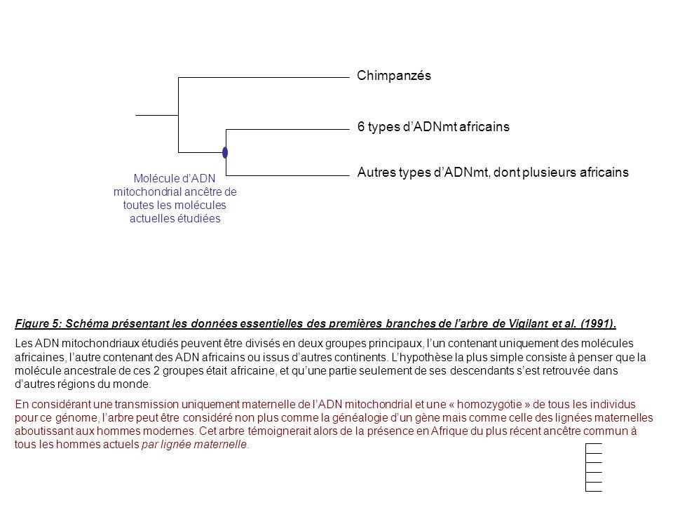 Figure 5: Schéma présentant les données essentielles des premières branches de larbre de Vigilant et al. (1991). Les ADN mitochondriaux étudiés peuven