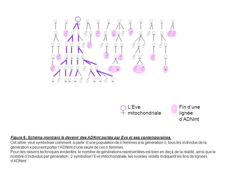 LEve mitochondriale Fin dune lignée dADNmt Figure 6: Schéma montrant le devenir des ADNmt portés par Eve et ses contemporaines. Cet arbre veut symboli