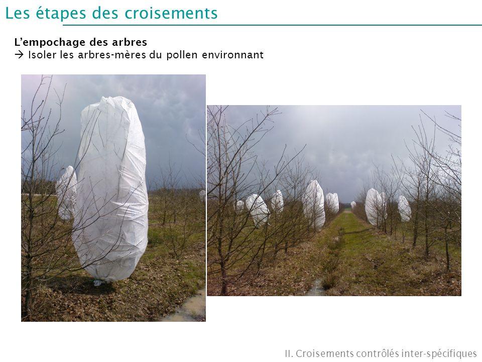 Les étapes des croisements II. Croisements contrôlés inter-spécifiques Lempochage des arbres Isoler les arbres-mères du pollen environnant