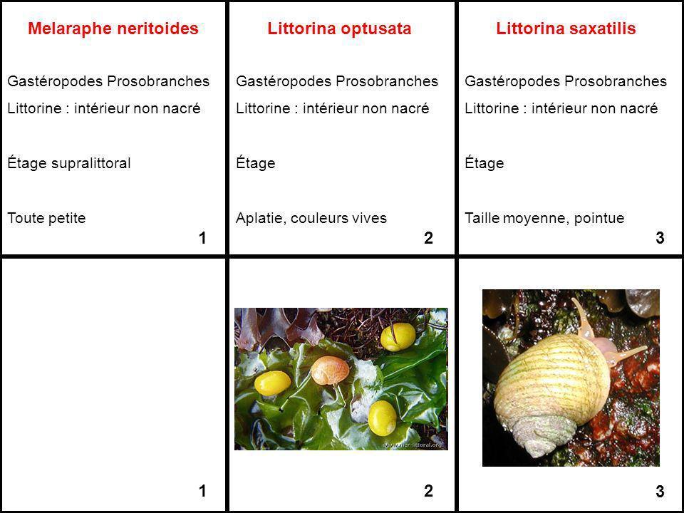 Melaraphe neritoides Gastéropodes Prosobranches Littorine : intérieur non nacré Étage supralittoral Toute petite 1 1 Littorina optusata Gastéropodes P