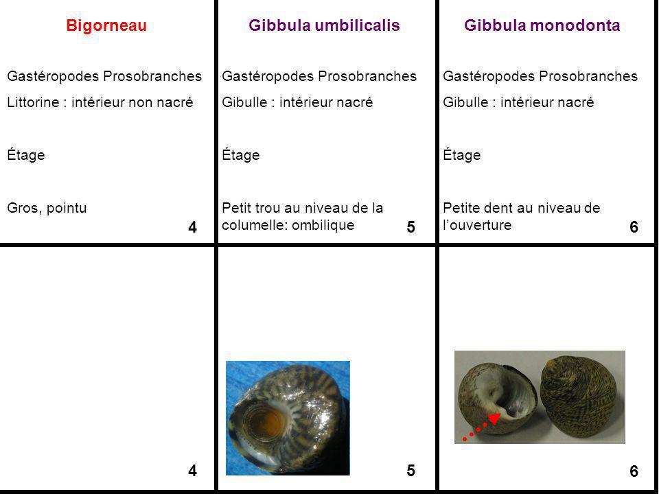 Bigorneau Gastéropodes Prosobranches Littorine : intérieur non nacré Étage Gros, pointu 4 4 Gibbula umbilicalis Gastéropodes Prosobranches Gibulle : i