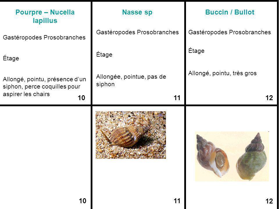 Pourpre – Nucella lapillus 10 Nasse sp 11 Buccin / Bullot 12 Gastéropodes Prosobranches Étage Allongé, pointu, présence dun siphon, perce coquilles po