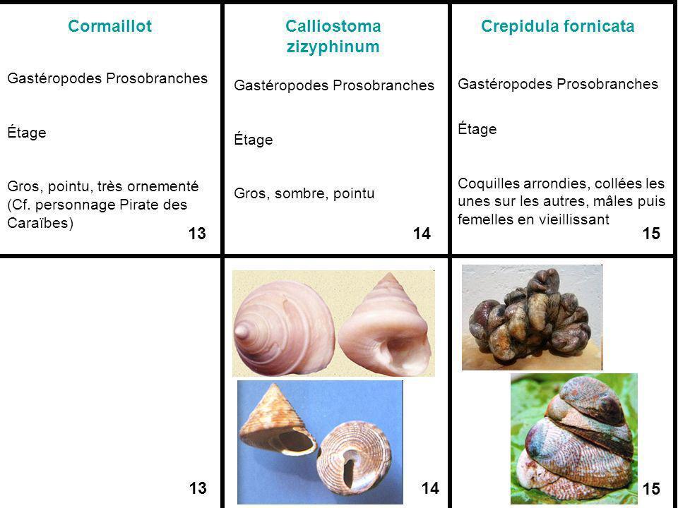 1314 15 Cormaillot Gastéropodes Prosobranches Étage Gros, pointu, très ornementé (Cf. personnage Pirate des Caraïbes) 13 Calliostoma zizyphinum Gastér