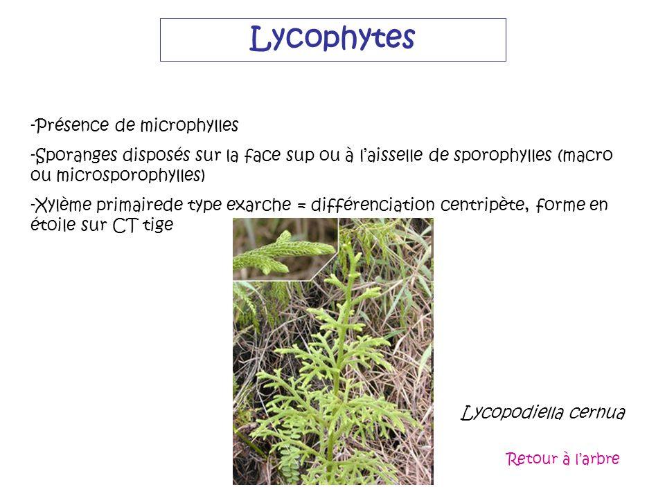 Lycophytes -Présence de microphylles -Sporanges disposés sur la face sup ou à laisselle de sporophylles (macro ou microsporophylles) -Xylème primaired