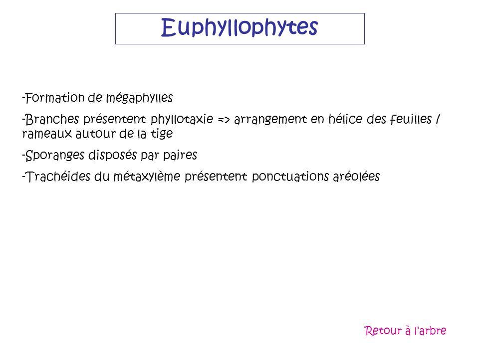 Euphyllophytes -Formation de mégaphylles -Branches présentent phyllotaxie => arrangement en hélice des feuilles / rameaux autour de la tige -Sporanges