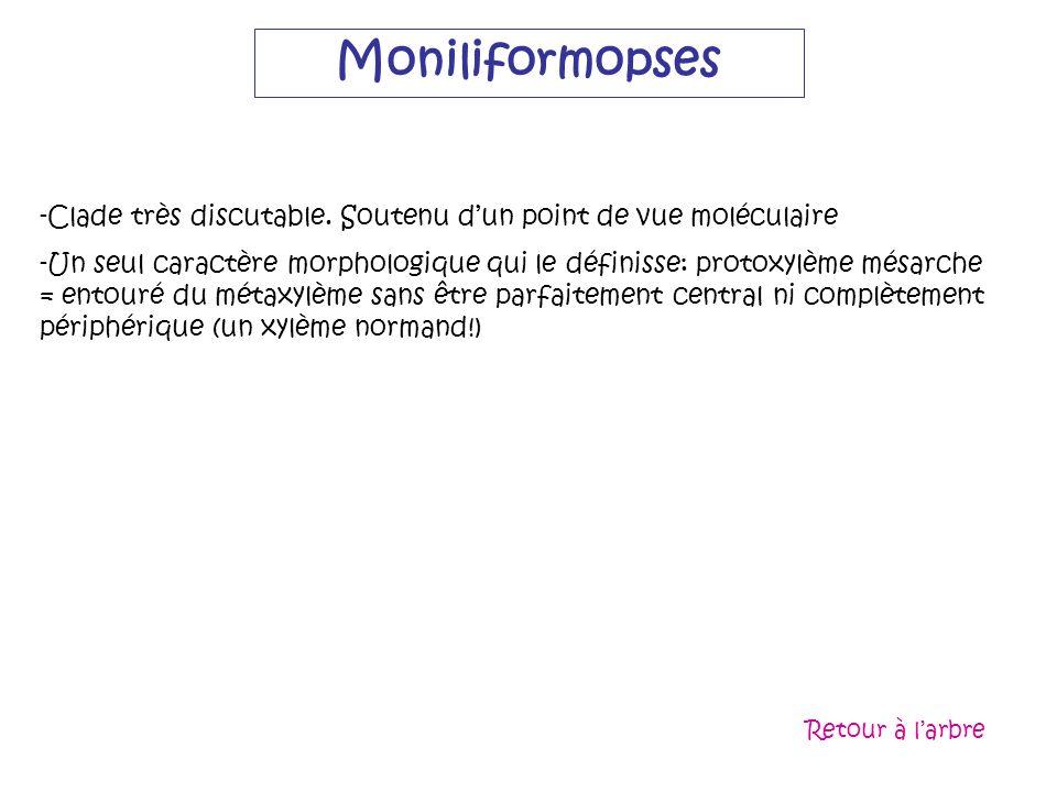 Moniliformopses -Clade très discutable. Soutenu dun point de vue moléculaire -Un seul caractère morphologique qui le définisse: protoxylème mésarche =
