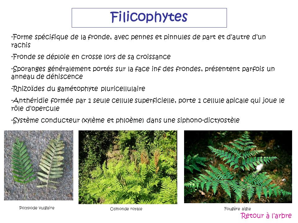 Filicophytes -Forme spécifique de la fronde, avec pennes et pinnules de part et dautre dun rachis -Fronde se déploie en crosse lors de sa croissance -