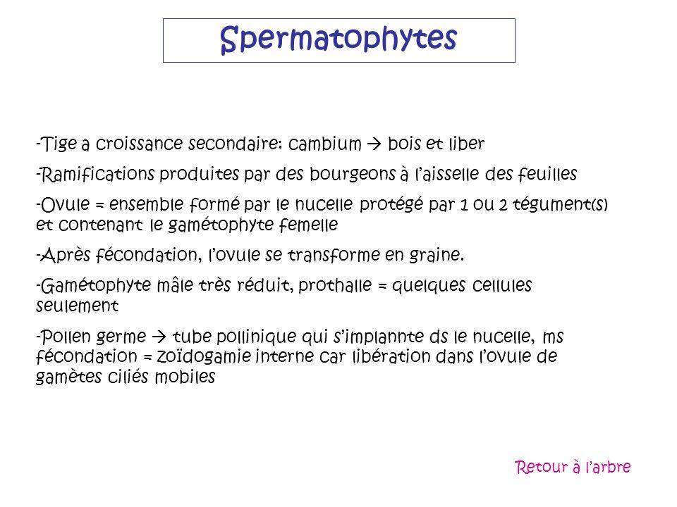 Spermatophytes -Tige a croissance secondaire: cambium bois et liber -Ramifications produites par des bourgeons à laisselle des feuilles -Ovule = ensem