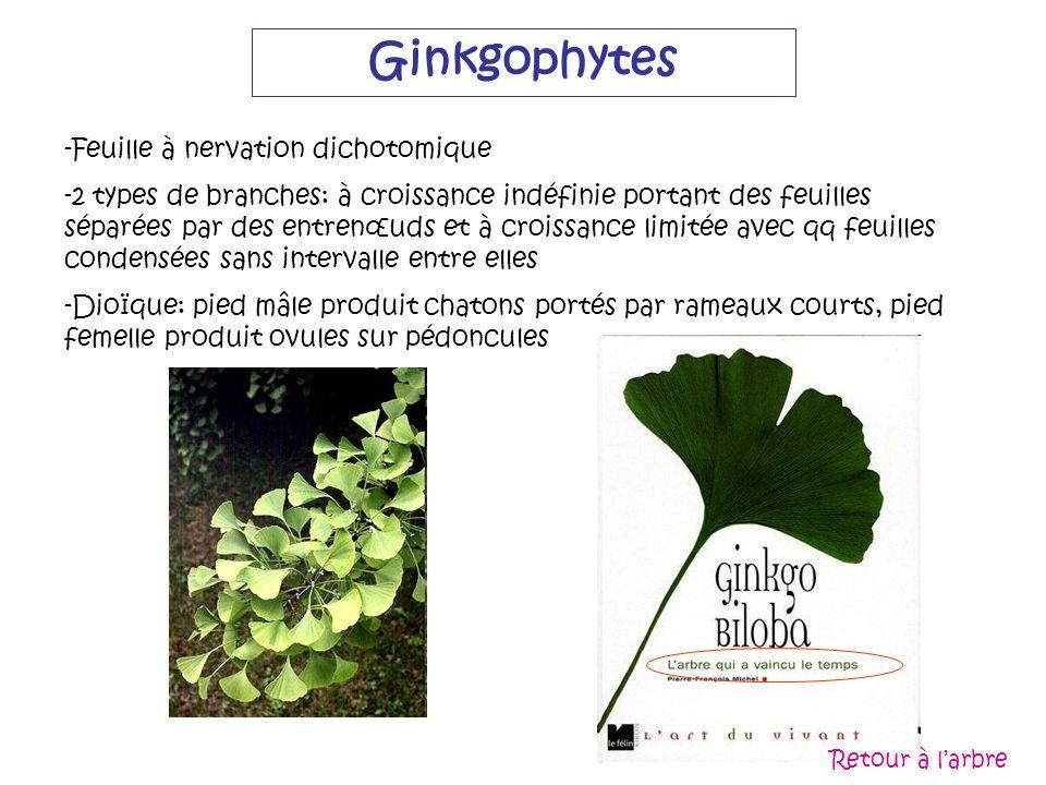 Ginkgophytes -Feuille à nervation dichotomique -2 types de branches: à croissance indéfinie portant des feuilles séparées par des entrenœuds et à croi