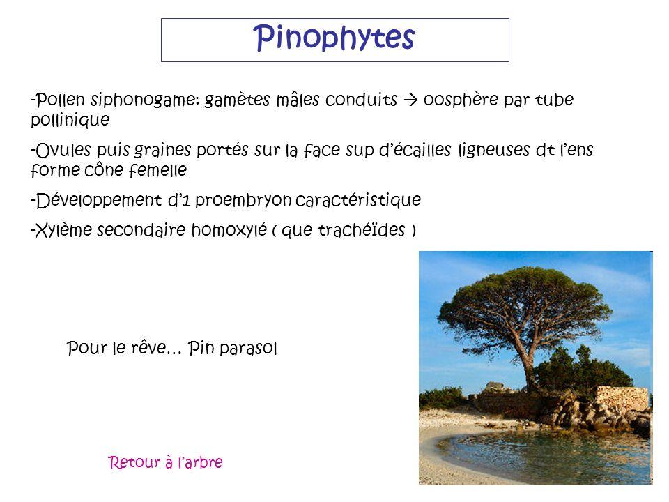 Pinophytes -Pollen siphonogame: gamètes mâles conduits oosphère par tube pollinique -Ovules puis graines portés sur la face sup décailles ligneuses dt