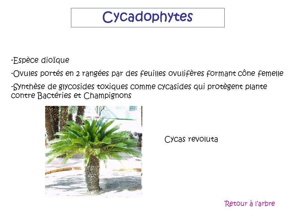Cycadophytes -Espèce dioïque -Ovules portés en 2 rangées par des feuilles ovulifères formant cône femelle -Synthèse de glycosides toxiques comme cycas