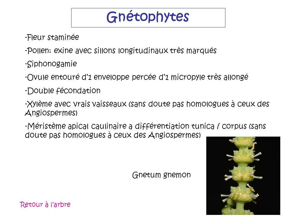 Gnétophytes -Fleur staminée -Pollen: exine avec sillons longitudinaux très marqués -Siphonogamie -Ovule entouré d1 enveloppe percée d1 micropyle très