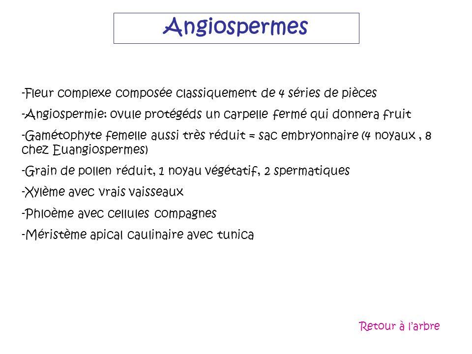 Angiospermes -Fleur complexe composée classiquement de 4 séries de pièces -Angiospermie: ovule protégéds un carpelle fermé qui donnera fruit -Gamétoph