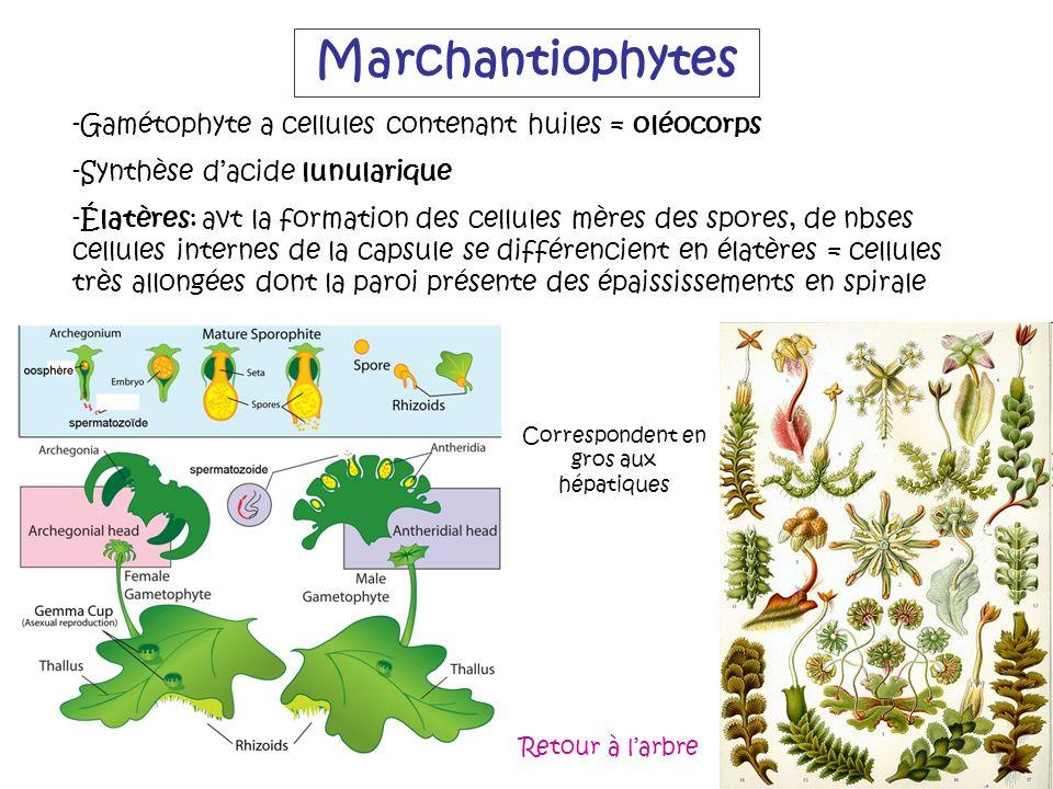 Marchantiophytes -Gamétophyte a cellules contenant huiles = oléocorps -Synthèse dacide lunularique -Élatères: avt la formation des cellules mères des