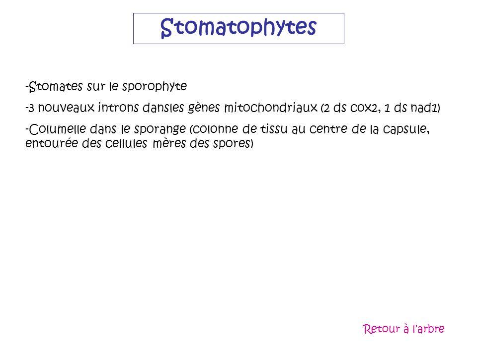 Stomatophytes -Stomates sur le sporophyte -3 nouveaux introns dansles gènes mitochondriaux (2 ds cox2, 1 ds nad1) -Columelle dans le sporange (colonne