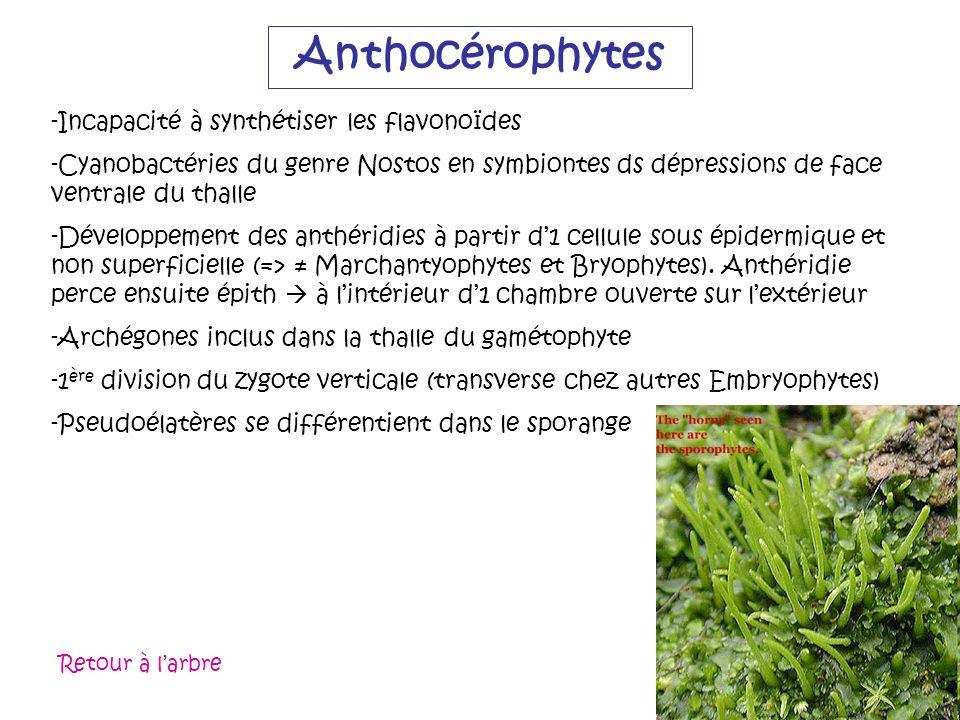 Anthocérophytes -Incapacité à synthétiser les flavonoïdes -Cyanobactéries du genre Nostos en symbiontes ds dépressions de face ventrale du thalle -Dév