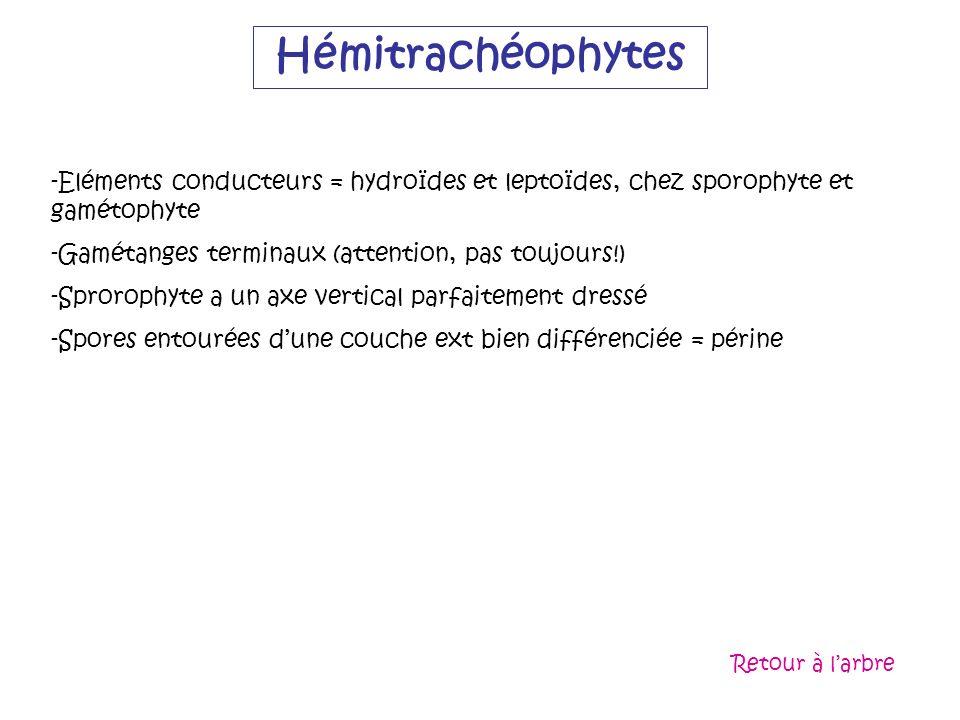 Hémitrachéophytes -Eléments conducteurs = hydroïdes et leptoïdes, chez sporophyte et gamétophyte -Gamétanges terminaux (attention, pas toujours!) -Spr