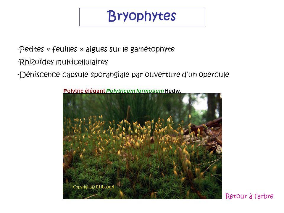 Bryophytes -Petites « feuilles » aigues sur le gamétophyte -Rhizoïdes multicellulaires -Déhiscence capsule sporangiale par ouverture dun opercule Poly