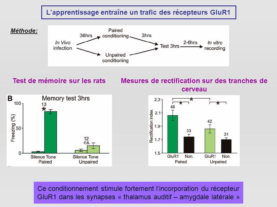 Lapprentissage entraîne un trafic des récepteurs GluR1 Méthode: Test de mémoire sur les ratsMesures de rectification sur des tranches de cerveau Ce conditionnement stimule fortement lincorporation du récepteur GluR1 dans les synapses « thalamus auditif – amygdale latérale »