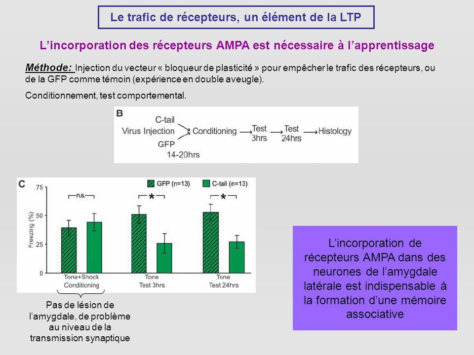 Le trafic de récepteurs, un élément de la LTP Lincorporation des récepteurs AMPA est nécessaire à lapprentissage Méthode: Injection du vecteur « bloqueur de plasticité » pour empêcher le trafic des récepteurs, ou de la GFP comme témoin (expérience en double aveugle).