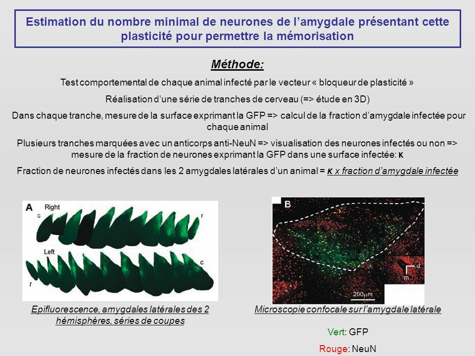 Estimation du nombre minimal de neurones de lamygdale présentant cette plasticité pour permettre la mémorisation Méthode: Test comportemental de chaque animal infecté par le vecteur « bloqueur de plasticité » Réalisation dune série de tranches de cerveau (=> étude en 3D) Dans chaque tranche, mesure de la surface exprimant la GFP => calcul de la fraction damygdale infectée pour chaque animal Plusieurs tranches marquées avec un anticorps anti-NeuN => visualisation des neurones infectés ou non => mesure de la fraction de neurones exprimant la GFP dans une surface infectée: κ Fraction de neurones infectés dans les 2 amygdales latérales dun animal = κ x fraction damygdale infectée Epifluorescence, amygdales latérales des 2 hémisphères, séries de coupes Microscopie confocale sur lamygdale latérale Vert: GFP Rouge: NeuN