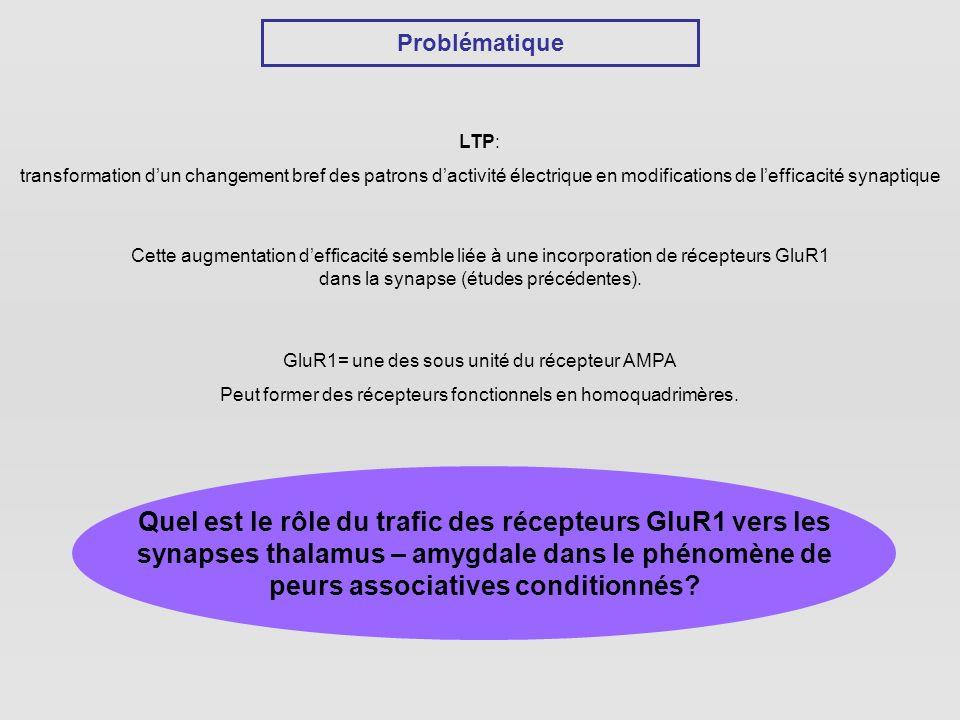 Problématique LTP: transformation dun changement bref des patrons dactivité électrique en modifications de lefficacité synaptique Cette augmentation defficacité semble liée à une incorporation de récepteurs GluR1 dans la synapse (études précédentes).