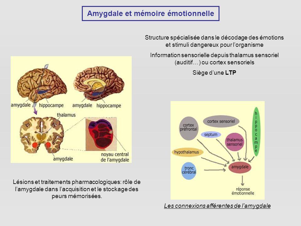 Amygdale et mémoire émotionnelle Structure spécialisée dans le décodage des émotions et stimuli dangereux pour lorganisme Information sensorielle depuis thalamus sensoriel (auditif…) ou cortex sensoriels Siège dune LTP Les connexions afférentes de lamygdale Lésions et traitements pharmacologiques: rôle de lamygdale dans lacquisition et le stockage des peurs mémorisées.
