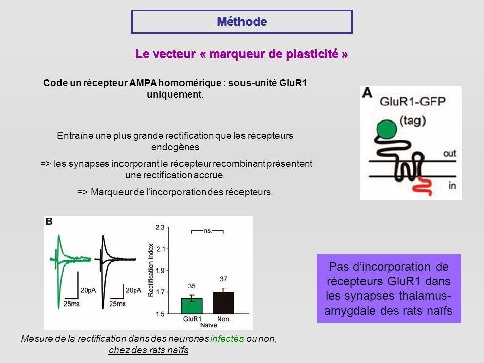 Méthode Le vecteur « marqueur de plasticité » Code un récepteur AMPA homomérique : sous-unité GluR1 uniquement.