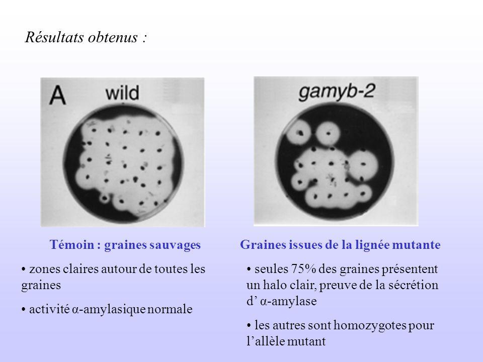 Résultats obtenus : Témoin : graines sauvages zones claires autour de toutes les graines activité α-amylasique normale Graines issues de la lignée mut