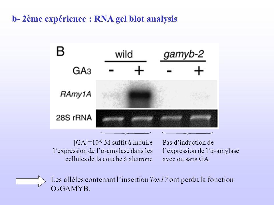 b- 2ème expérience : RNA gel blot analysis [GA]=10 -6 M suffit à induire lexpression de lα-amylase dans les cellules de la couche à aleurone Pas dindu