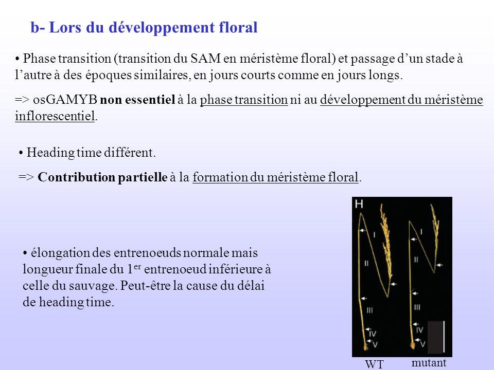 b- Lors du développement floral Phase transition (transition du SAM en méristème floral) et passage dun stade à lautre à des époques similaires, en jo
