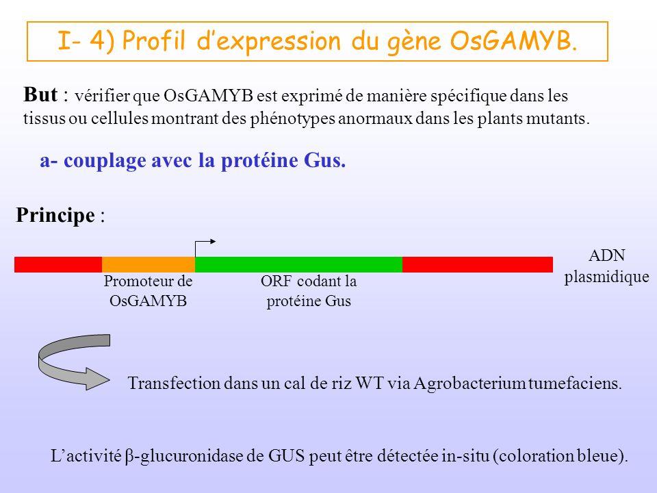 I- 4) Profil dexpression du gène OsGAMYB. a- couplage avec la protéine Gus. Principe : ADN plasmidique Promoteur de OsGAMYB ORF codant la protéine Gus