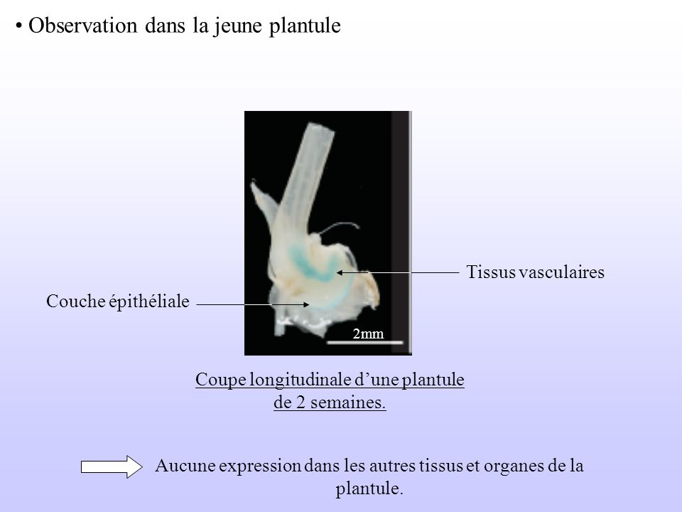 Observation dans la jeune plantule 2mm Tissus vasculaires Couche épithéliale Coupe longitudinale dune plantule de 2 semaines. Aucune expression dans l