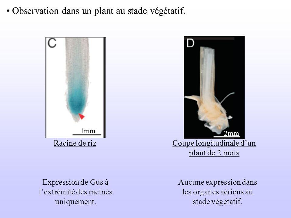 Observation dans un plant au stade végétatif. Racine de riz 1mm Coupe longitudinale dun plant de 2 mois Expression de Gus à lextrémité des racines uni