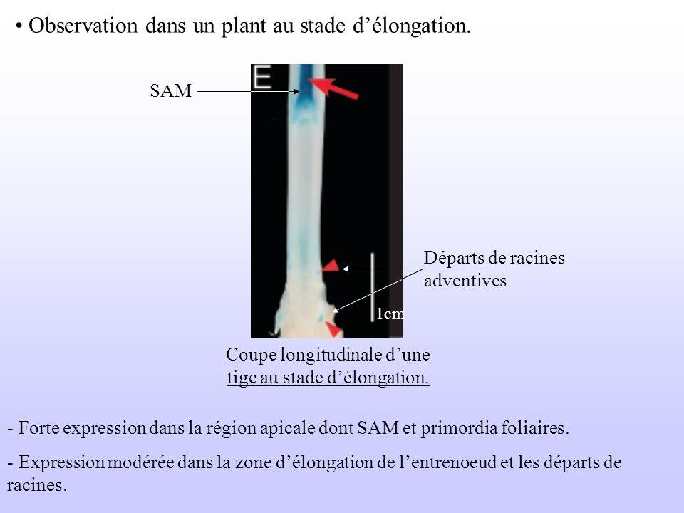 Observation dans un plant au stade délongation. SAM Départs de racines adventives Coupe longitudinale dune tige au stade délongation. - Forte expressi