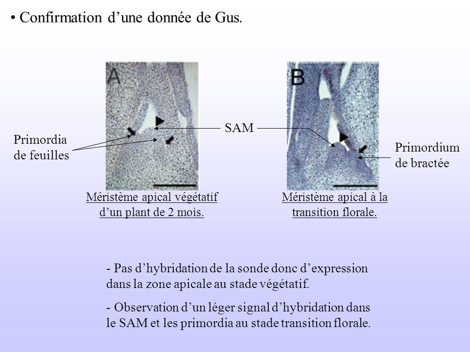 Confirmation dune donnée de Gus. Primordia de feuilles Méristème apical végétatif dun plant de 2 mois. SAM Primordium de bractée Méristème apical à la
