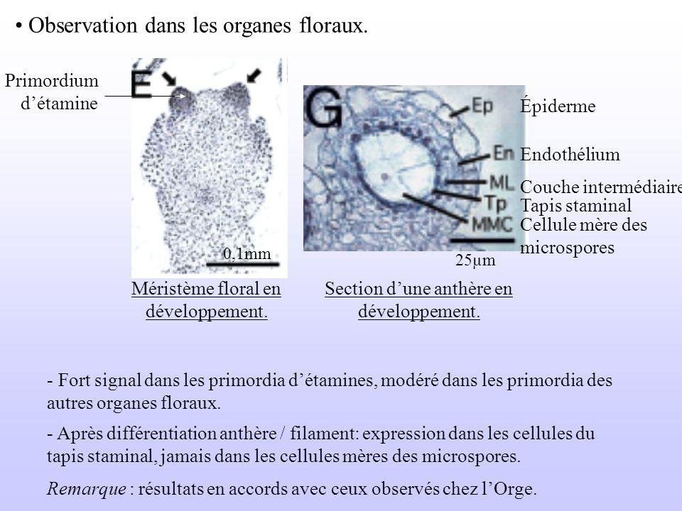 Observation dans les organes floraux. Primordium détamine Méristème floral en développement. 0,1mm 25µm Épiderme Endothélium Couche intermédiaire Tapi