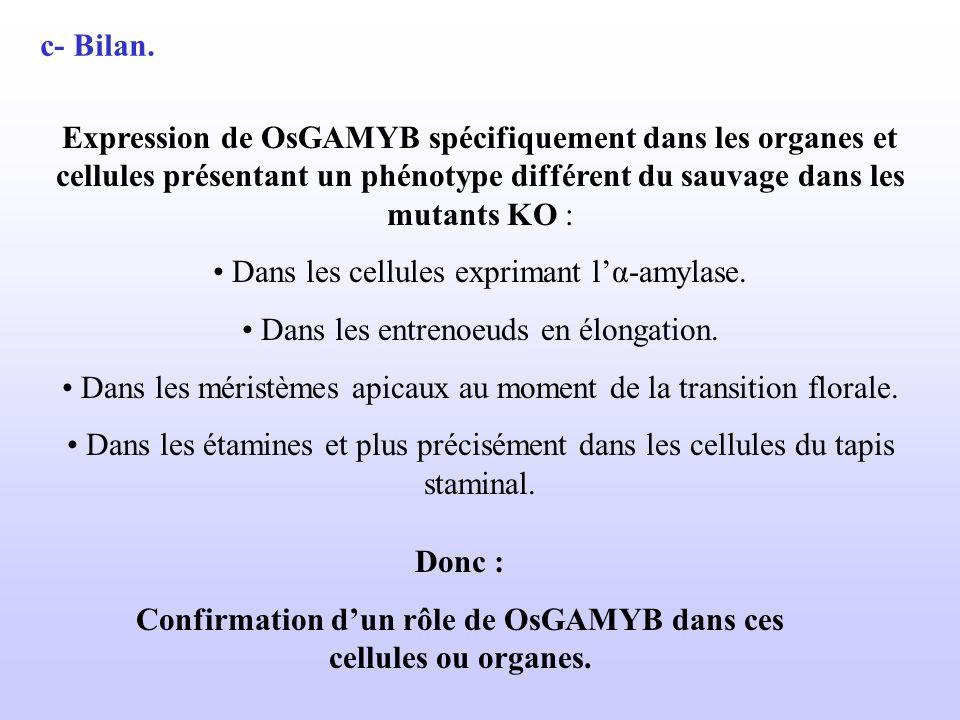 c- Bilan. Expression de OsGAMYB spécifiquement dans les organes et cellules présentant un phénotype différent du sauvage dans les mutants KO : Dans le