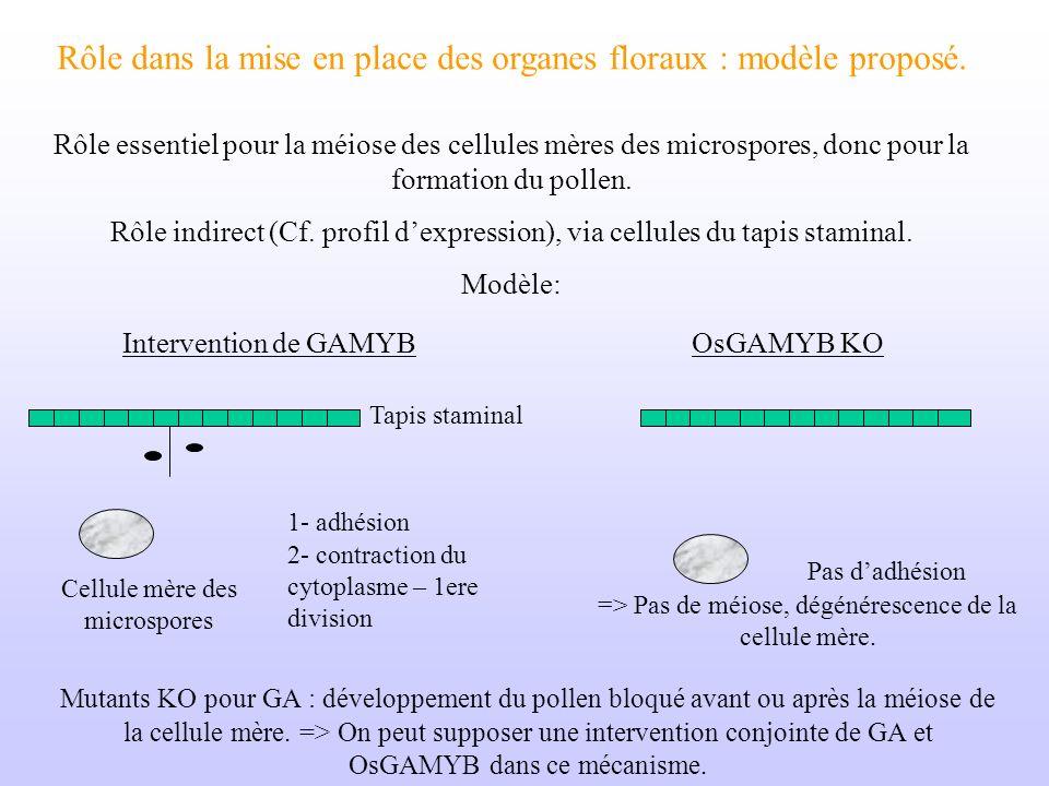 Rôle dans la mise en place des organes floraux : modèle proposé. Rôle essentiel pour la méiose des cellules mères des microspores, donc pour la format