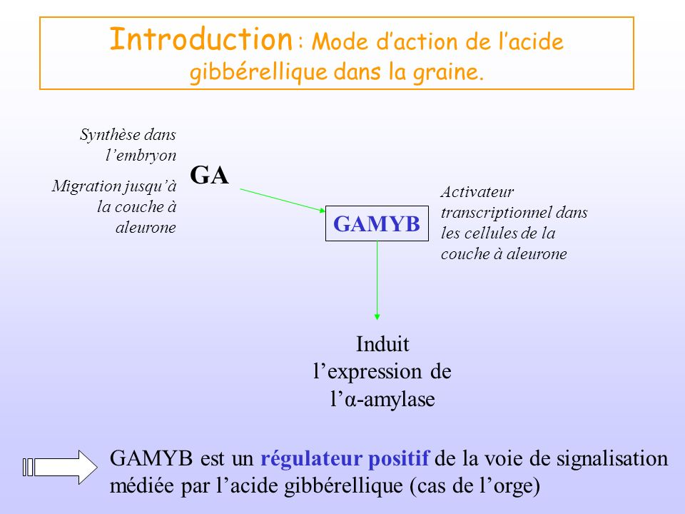 Introduction : Mode daction de lacide gibbérellique dans la graine. GA GAMYB Activateur transcriptionnel dans les cellules de la couche à aleurone Ind