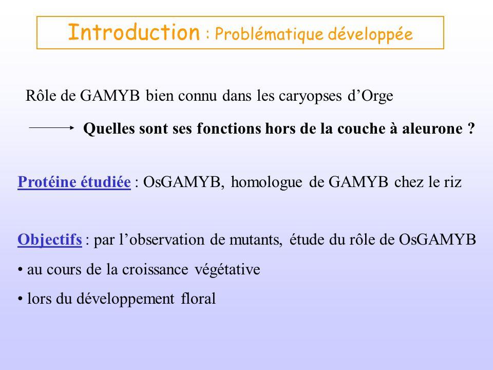 Introduction : Problématique développée Rôle de GAMYB bien connu dans les caryopses dOrge Quelles sont ses fonctions hors de la couche à aleurone ? Ob