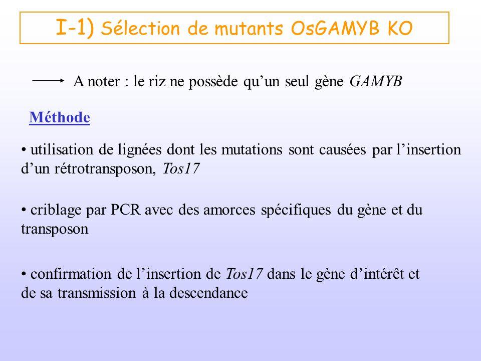 I-1) Sélection de mutants OsGAMYB KO A noter : le riz ne possède quun seul gène GAMYB criblage par PCR avec des amorces spécifiques du gène et du tran
