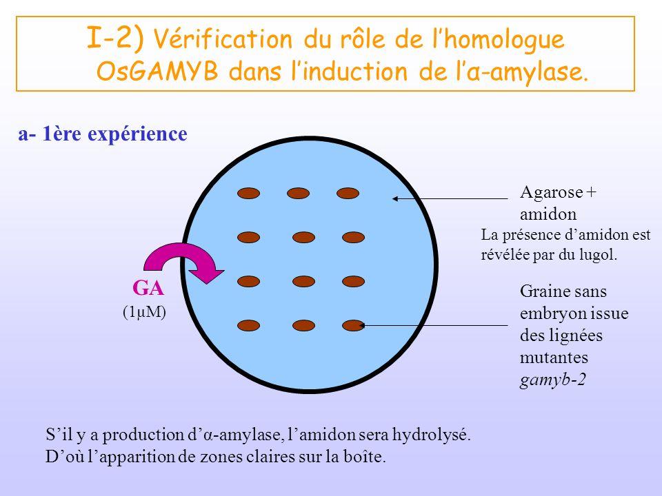 I-2) Vérification du rôle de lhomologue OsGAMYB dans linduction de lα-amylase. a- 1ère expérience GA (1µM) Graine sans embryon issue des lignées mutan