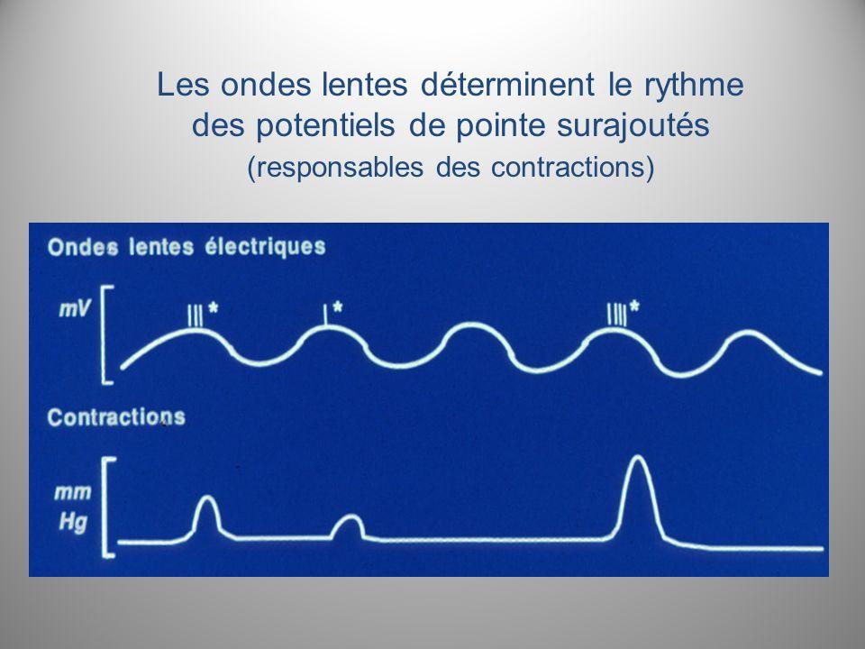 Les ondes lentes déterminent le rythme des potentiels de pointe surajoutés (responsables des contractions)